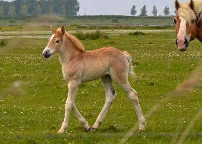 Paarden Middelplaten 22