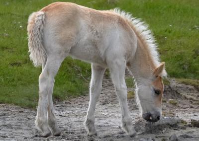 Paarden Middelplaten 14