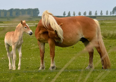 Paarden Middelplaten 10