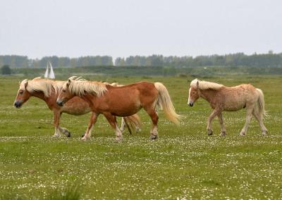 Paarden Middelplaten 7