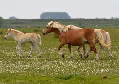 Paarden Middelplaten 5