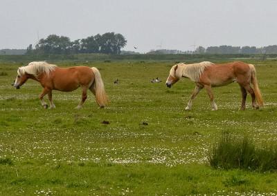 Paarden Middelplaten 3