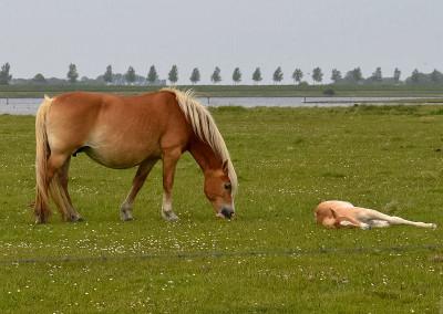 Paarden Middelplaten 19