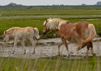 Paarden Middelplaten 16