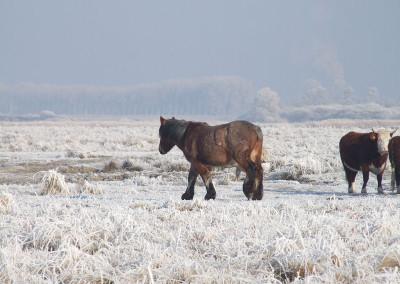 Paarden winter 4