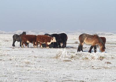 Paarden winter 2