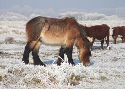 Paarden winter 1